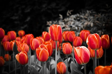 red georgette tulips