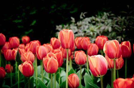 red georgette tulip flowers