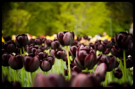 queen of the night tulip flowers