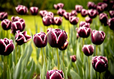 jackpot tulip flowers Stock Photo