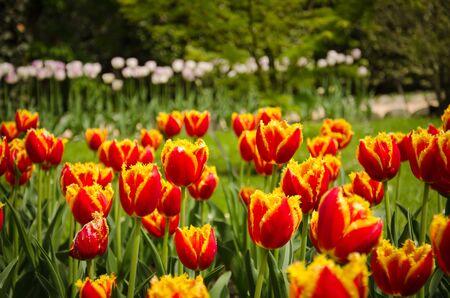 aleppo tulip flowers in bloom