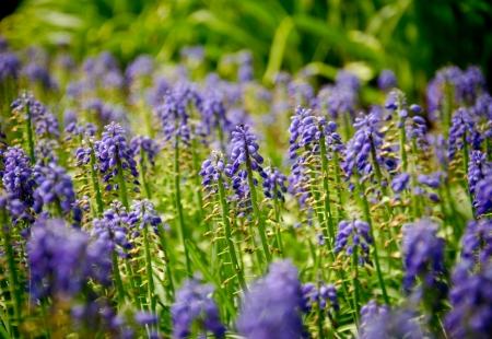 muscari armeniacum flowers in bloom
