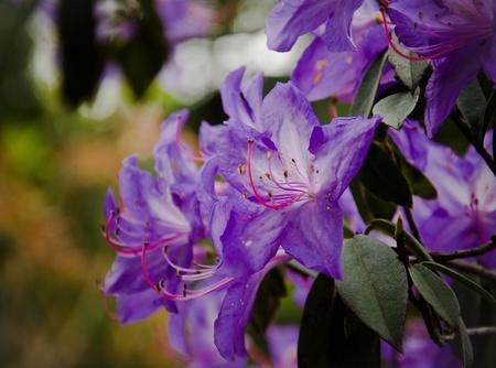 azaleas: purple azalea flower in bloom Stock Photo