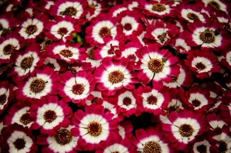 daisy flowers in bloom