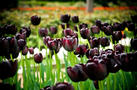 queen of the night tulip flowers in bloom during spring Stock Photo