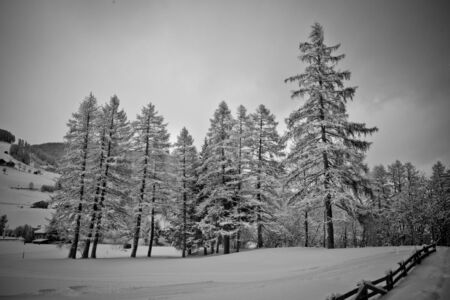 trees covered with snow during winter in val pusteria