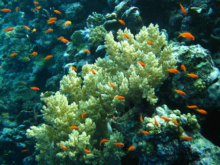 soft coral red sea photo