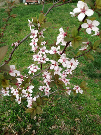 Taken this spring. Flowers are on a thundercloud pear tree.