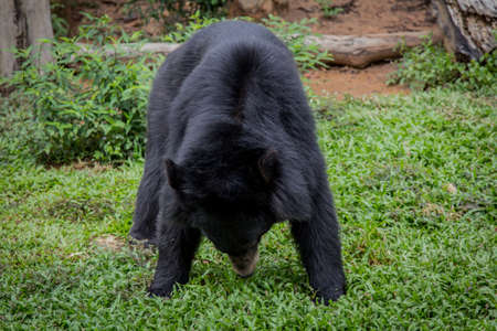 sow: Black Bear sow in lush green grass