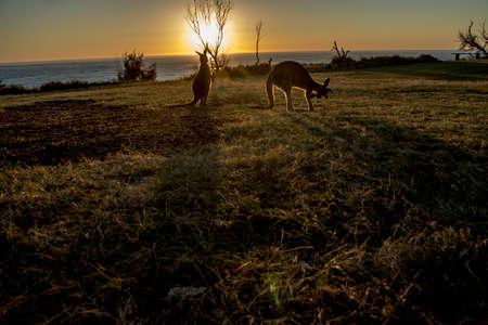 animal pouch: Kangaroo sunrise Stock Photo