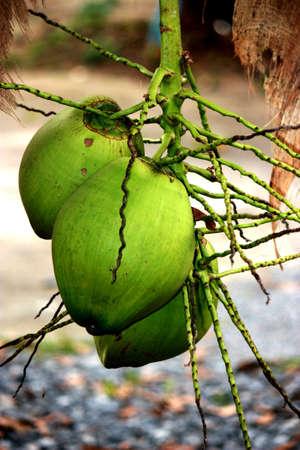 coconuts Stock Photo - 13624984