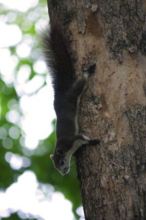 squirrel is climbing down to the floor Stock Photo - 14405054