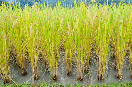 framer: Yellow rice in a paddy field Stock Photo
