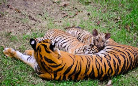tigresa: Mam�, alimentar a sus beb�s Foto de archivo