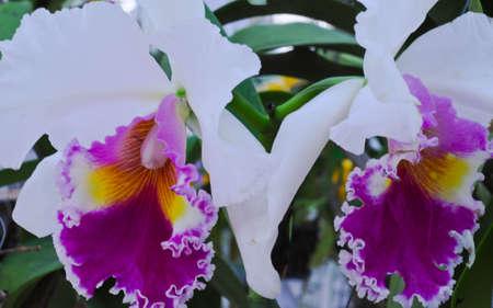 flora: Cathaleya orchid  in Ratchaphuk flora festival,Thailand