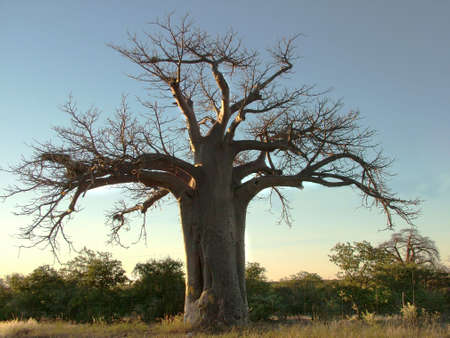 adansonia: Boabab tree