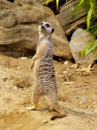 suricata suricatta: Suricate, photo was taken in Longleat Safari Park