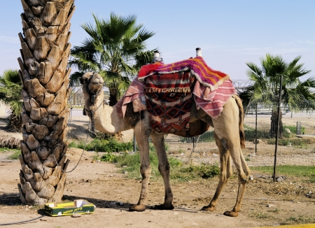 Camel, Israel Stock Photo - 14941159