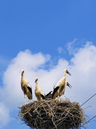 Storks in the nest, Poland