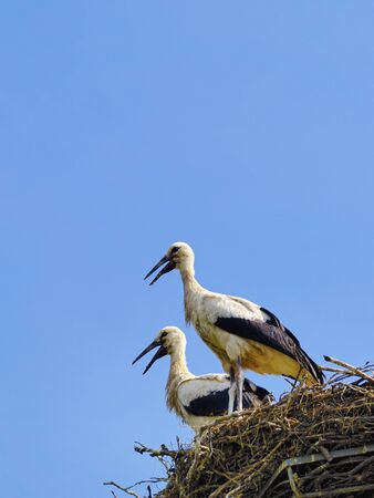 Storks in the nest, Poland photo