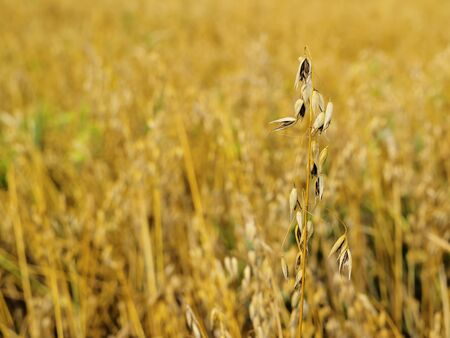 Oat Field photo