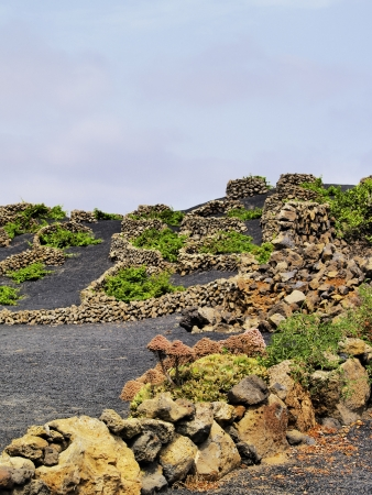 Vineyard, Tiagua, Lanzarote photo