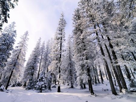tatra: Winter Forest, Tatra Mountains, Poland