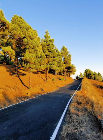 pinar: Pine Forest, Hierro, Canary Islands Stock Photo