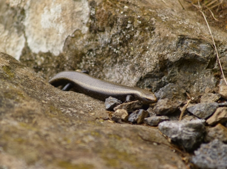 vallehermoso: La Gomera Skink, Canary Islands, Spain Stock Photo