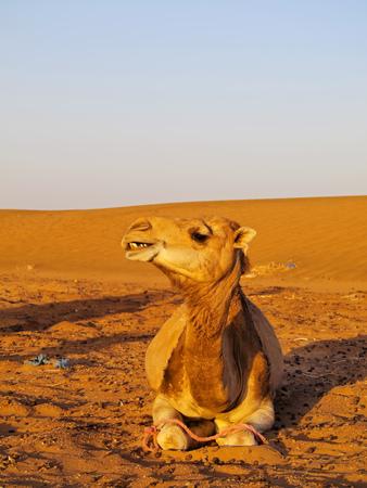 Camel on Zagora Desert in Morocco, Africa photo