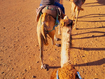 Riding Camels on Zagora Desert in Morocco, Africa photo