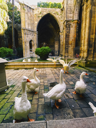 Geese inside of the Cathedral of Barcelona, Catalonia, Spain