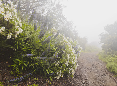 laurel mountain: Portugal, Madeira, Echium candicans known as Pride Of Madeira near Portela.
