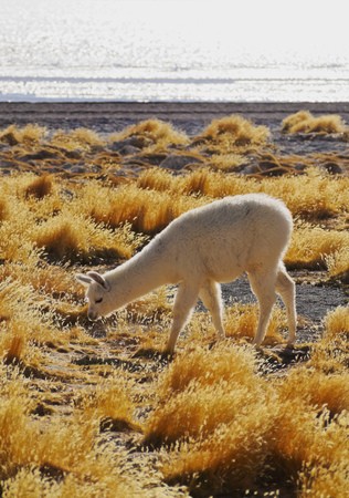 Bolivia, Potosi Departmant, Sur Lipez Province, Eduardo Avaroa Andean Fauna National Reserve, Alpaca and Jarava Ichu Grass on the shore of the Laguna Colorada.