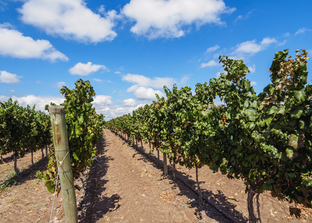 Vineyard in Coquimbito, Mendoza Province, Argentina