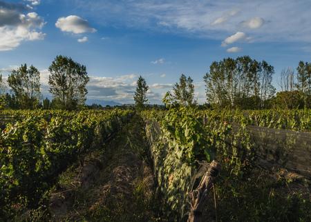 Vineyard in Lujan de Cuyo, Mendoza Province, Argentina