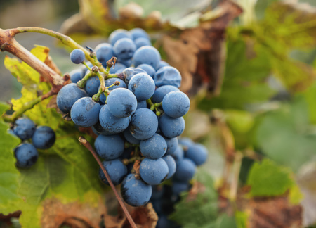 Malbec Grapes, Lujan de Cuyo, Mendoza Province, Argentina Stockfoto