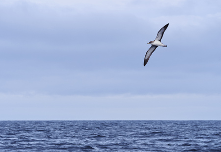 Bird flying over Atlantic Ocean near the coast of Pico Island, Azores, Portugal