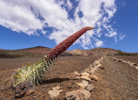 Tajinaste Rojo(Echium Wildpretii), endemic plant, Teide National Park, Tenerife Island, Canary Islands, Spain