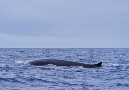 Whale watching by the coast of Pico Island, Azores, Portugal Reklamní fotografie