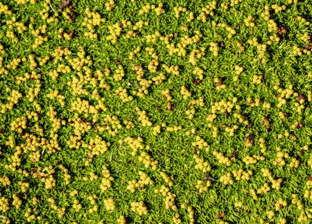 Moss, Nahuel Huapi National Park, Rio Negro Province, Argentina