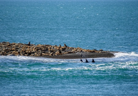 Killer Whales (Orcinus orca) in Caleta Valdes, Valdes Peninsula,    Site, Chubut Province, Patagonia, Argentina Stock Photo
