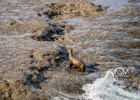 South American Sea Lion (Otaria flavescens), Punta Piramide, Valdes Peninsula, UNESCO World Heritage Site, Chubut Province, Patagonia, Argentina Stockfoto