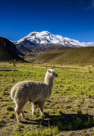 Alpaca and Chimborazo Volcano, Chimborazo Province, Ecuador