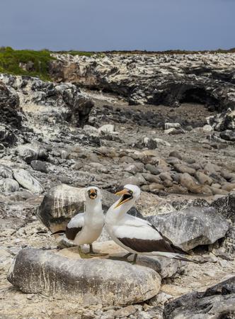 Nazca boobies (Sula granti), Punta Suarez, Espanola or Hood Island, Galapagos, Ecuador Фото со стока
