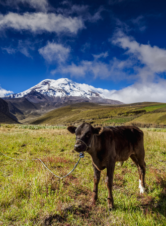 Cow and Chimborazo Volcano, Chimborazo Province, Ecuador