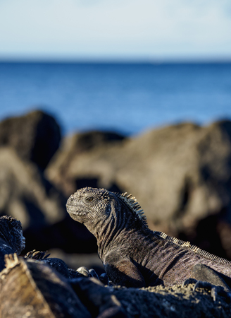 Marine iguana (Amblyrhynchus cristatus), San Cristobal or Chatham Island, Galapagos, Ecuador Фото со стока