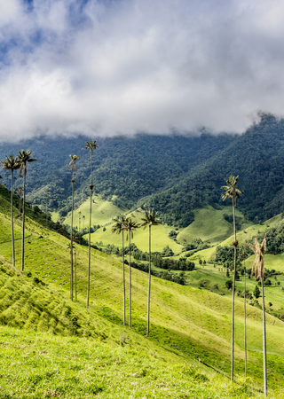 Wax Palms (Ceroxylon quindiuense), Cocora Valley, Salento, Quindio Department, Colombia