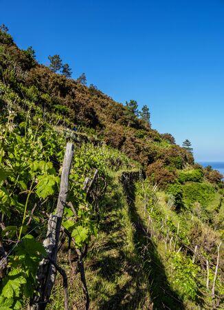 Vineyard in Manarola, Cinque Terre
