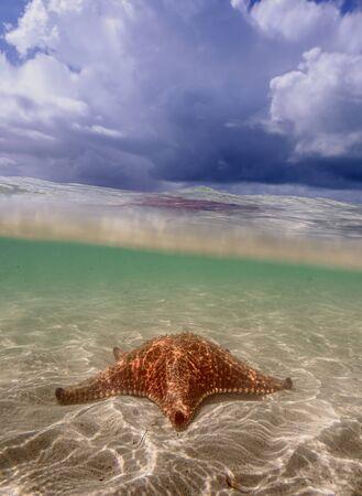 Sea star st Starfish Point, North Side, Grand Cayman, Cayman Islands